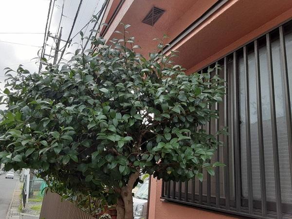 埼玉県さいたま市岩槻区 K様邸 屋根塗装・外壁塗装 足場設置前に植木の伐採を行いました (3)